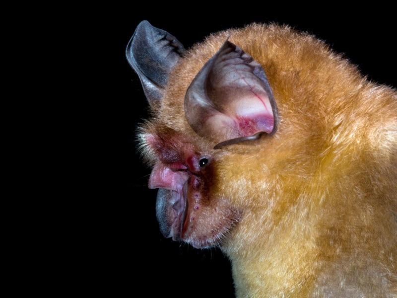 κορωνοϊός νυχτερίδα
