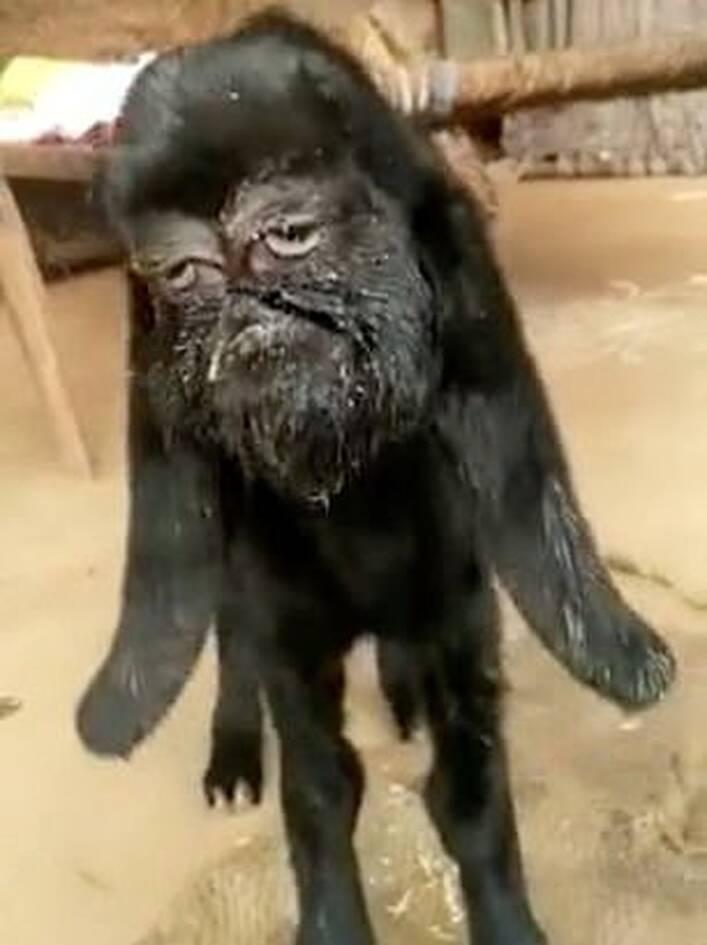 Το νεαρό ζώο, με το ανθρώπινο πρόσωπο, βρίσκεται στο χωριό Nimodia Ινδίας.
