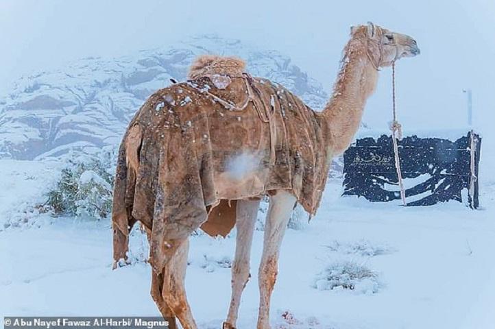 Καμήλα στα χιόνια