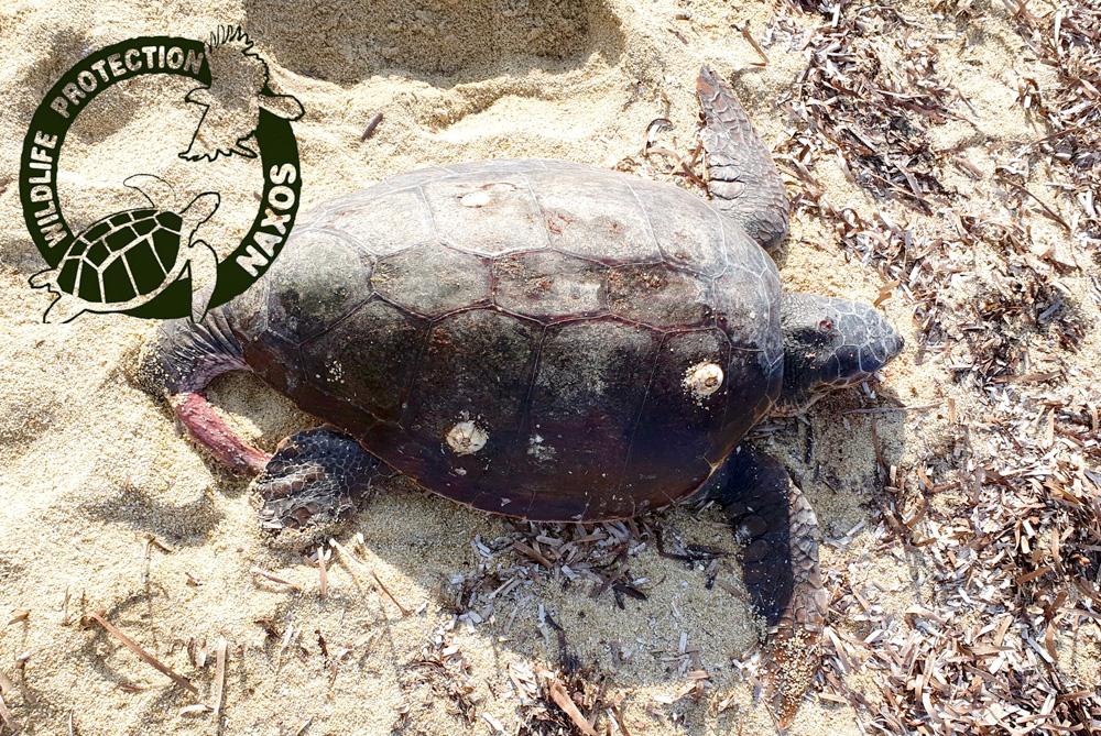 Η χελώνα βρέθηκε σε παραλία της Νάξου