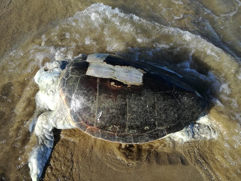 Η θαλάσσια χελώνα που ξεβράστηκε στην παραλία των Γουβών.