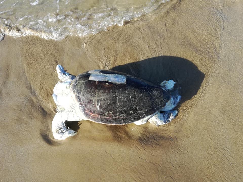 Το άτυχο ζώο, όπως το εντόπησαν σήμερα στην ακτή.