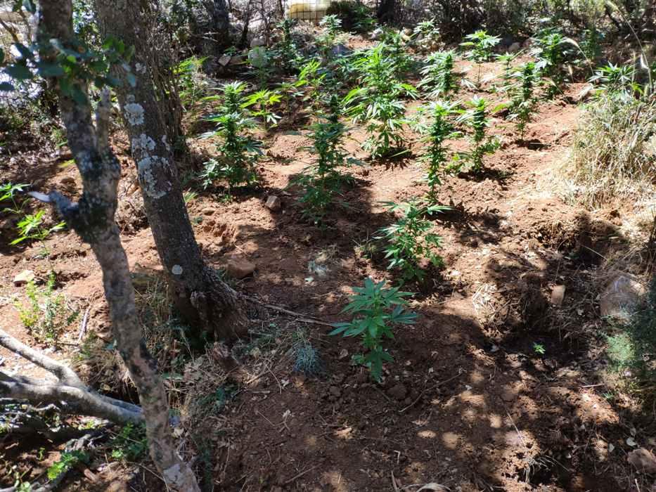 Τα δενδρύλλια κατασχέθηκαν μαζί με πλήθος πειστηρίων που βρέθηκαν κατά την εξερεύνηση των χώρων των φυτειών.