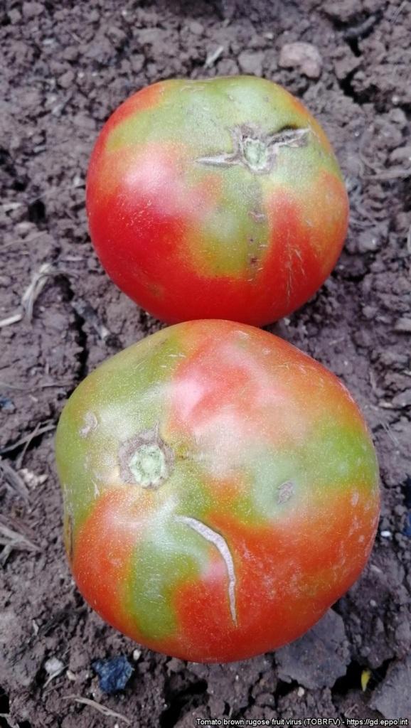 Αποτελεί αναδυόμενο κίνδυνο μεγάλης σημασίας κυρίως για την καλλιέργεια της τομάτας και της πιπεριάς