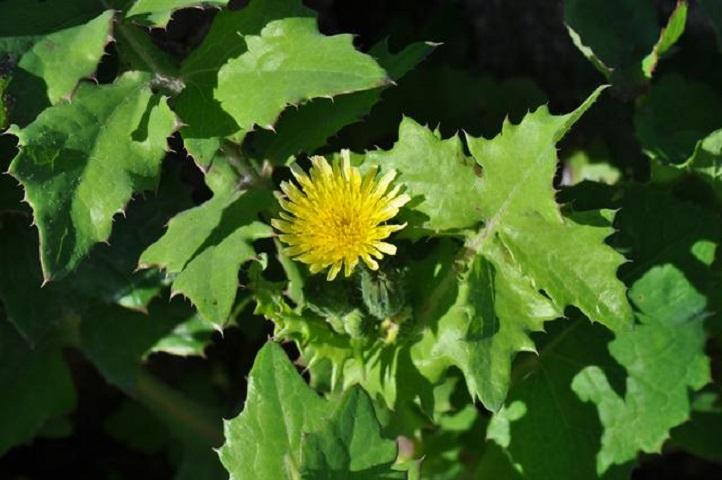 Ζόχος ή ζοχιά, ένα εκπλητικό φάρμακο της φύσης
