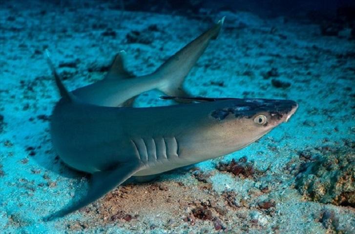 Τα σημάδια από τη δερματική ασθένεια που πλήττει καρχαρίες