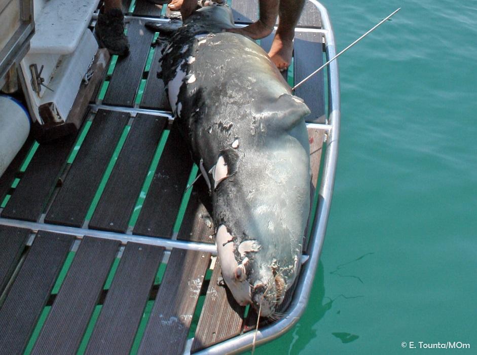σκότωσαν τη διάσημη φώκια της Αλοννήσου
