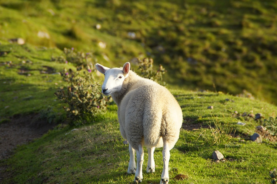 πρόβατο σκωτία