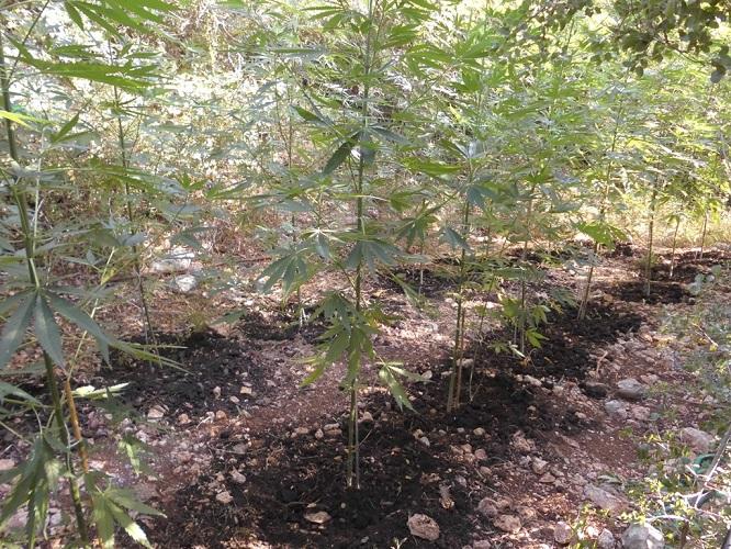 Εκριζώθηκαν 96 χασισόδεντρα