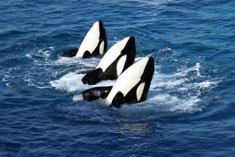 φάλαινα Όρκα